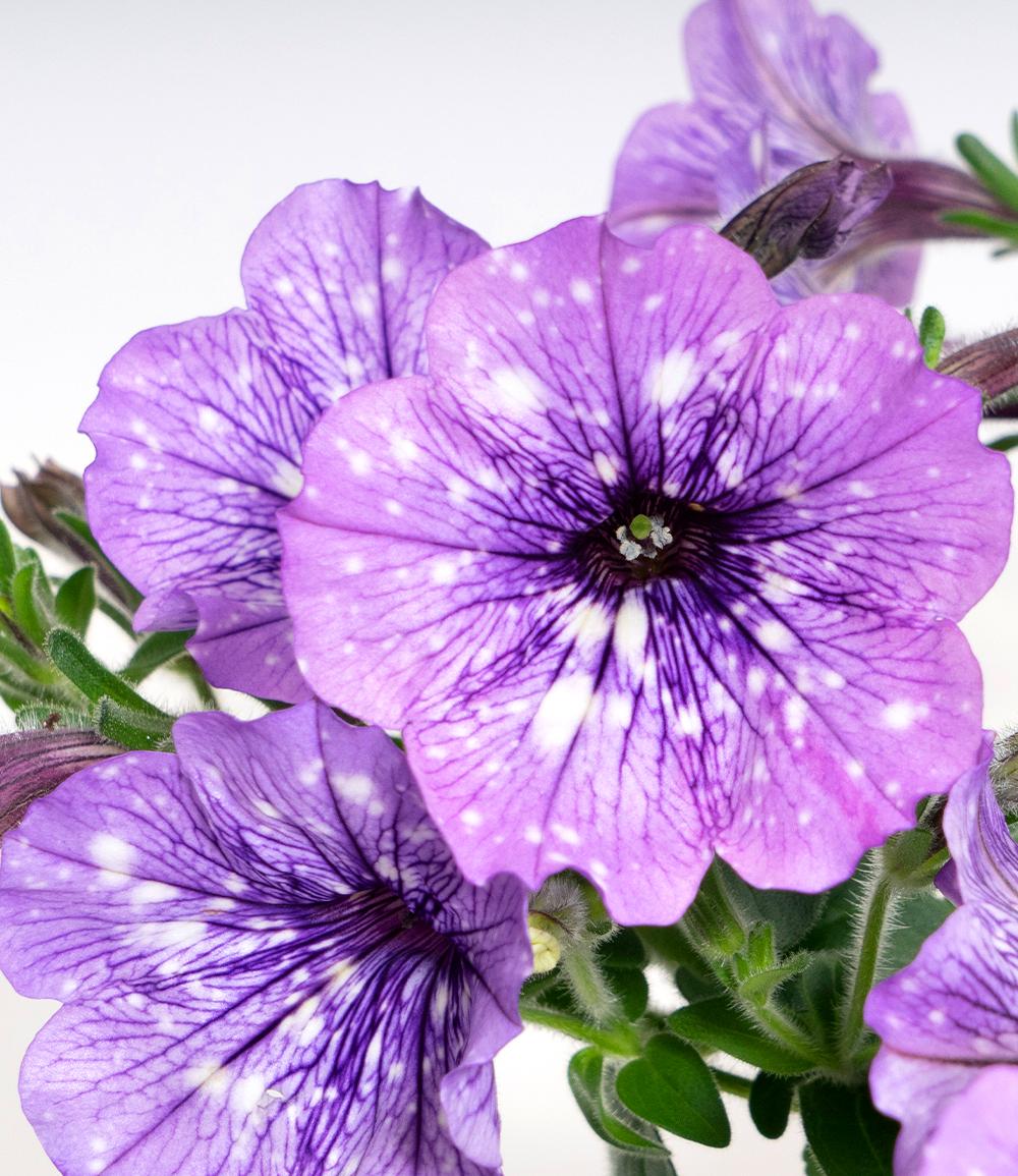 Hänge-Petunie Hellviolette 'LavenderSKY®'