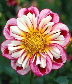 Dahlien Pflege - Tipps: Schneiden, Pflanzen & überwintern Dahlien Tipps Pflanzen Pflegen