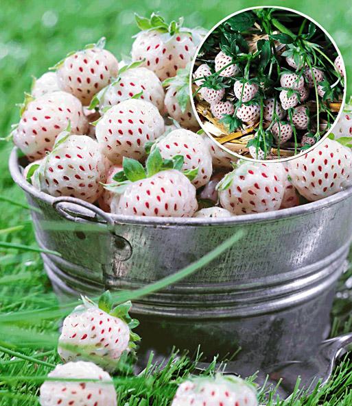 wei e ananas erdbeere natural white 1a qualit t baldur garten. Black Bedroom Furniture Sets. Home Design Ideas