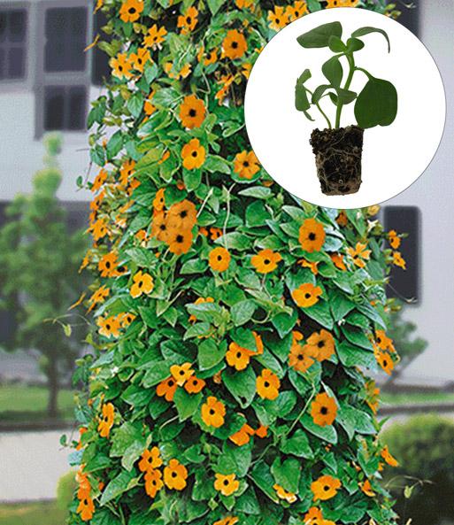 schwarz ugige susanne 39 flower sensa balkon terrasse bei baldur garten. Black Bedroom Furniture Sets. Home Design Ideas