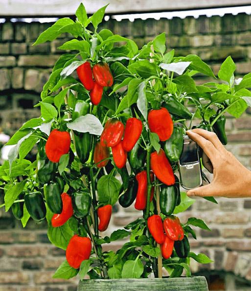 Veredelte Rote Snack Paprika Paprika Bei Baldur Garten