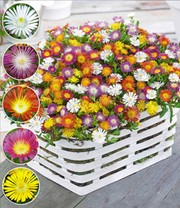 Winterharte Eisblumen 'Wheels of Wonder®' Farbmix
