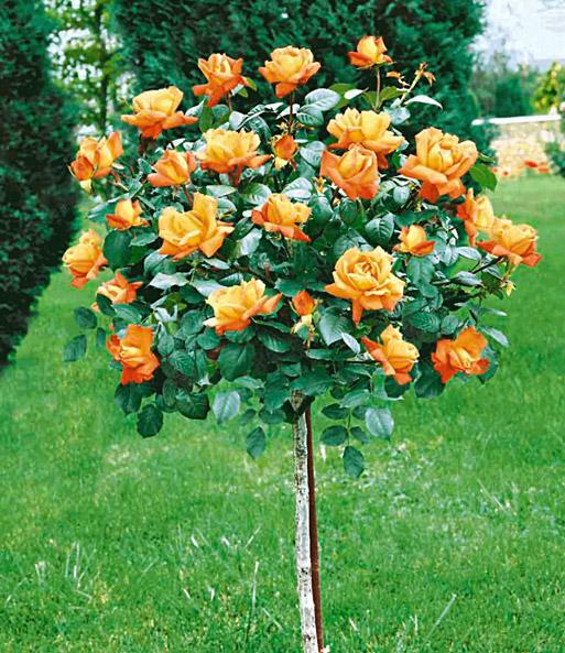 Rosen-Stämmchen Maja Oetker®: 1A-Qualität | BALDUR-Garten