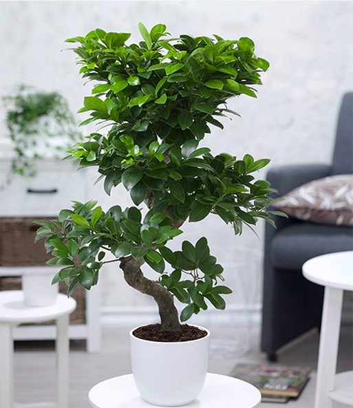 zimmerbonsai ficus 39 ginseng 39 baldur garten. Black Bedroom Furniture Sets. Home Design Ideas