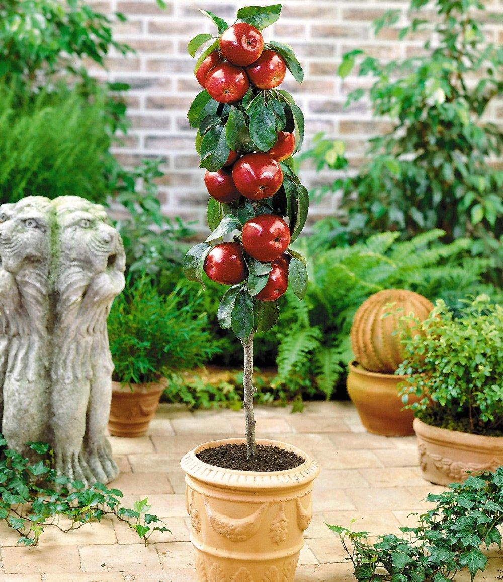 Befruchtersorte Apfel 'Gala'