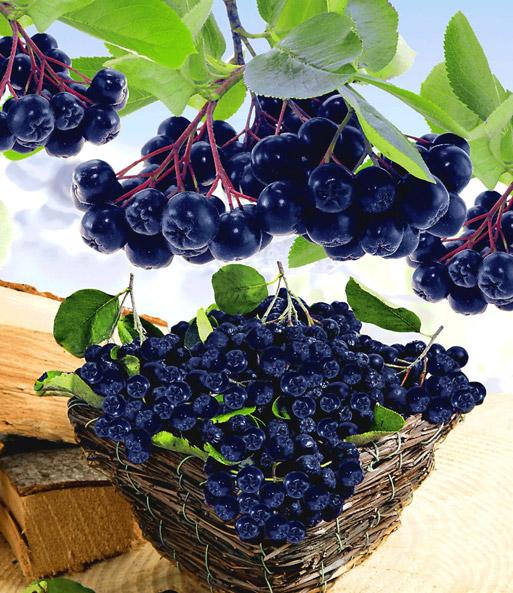 Vitaminbeere Aronia Viking 1a Qualität Baldur Garten