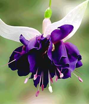 Riesen-Fuchsie 'Deep Purple'