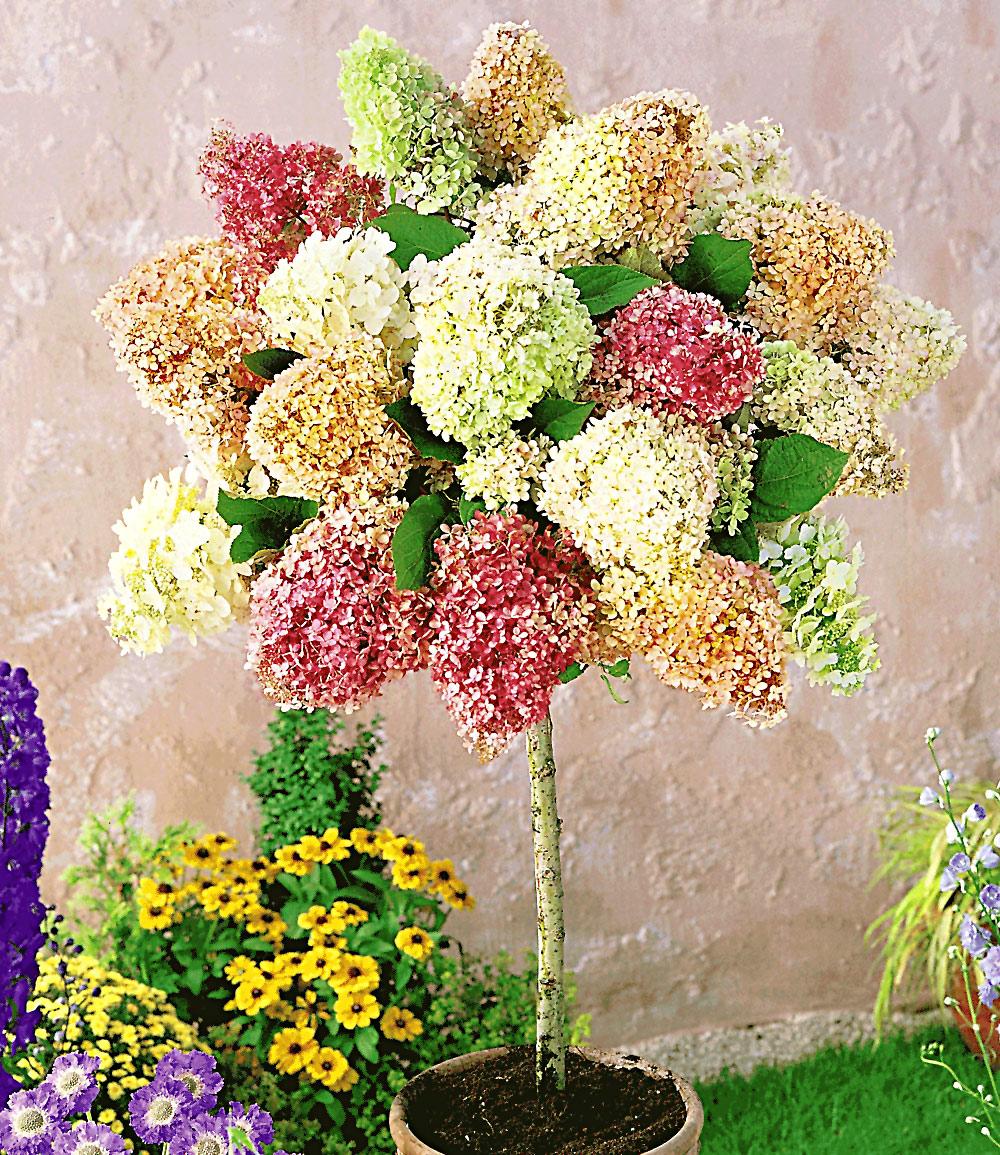 Hortensien-Stämmchen 'Grandiflora'