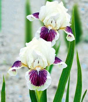 Zwerg-Iris 'Black Cherry Delight'