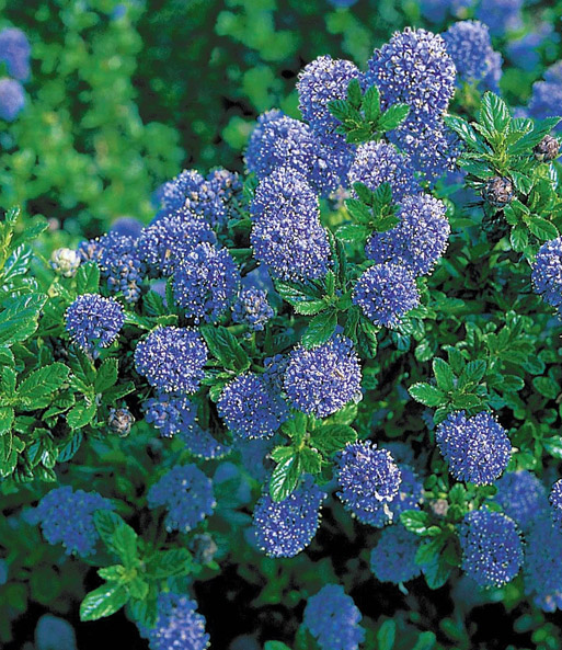 ceanothus 39 trewithen blue 39 immergr n wintergr n bei. Black Bedroom Furniture Sets. Home Design Ideas