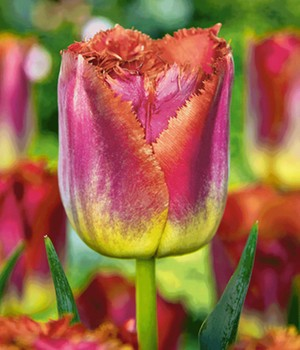 Tulpe 'Sunset Miami'