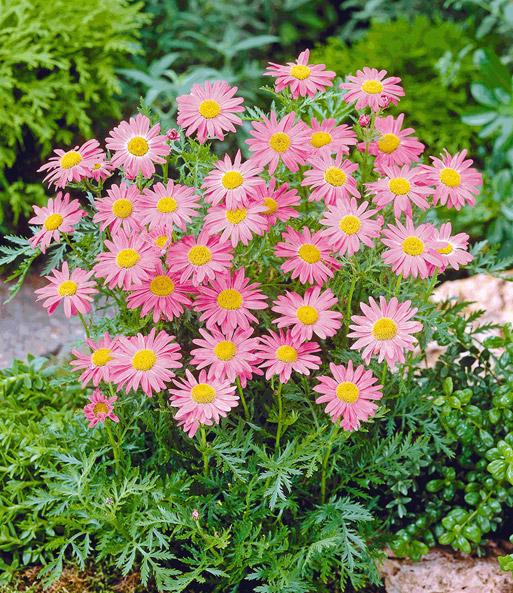 Berühmt Stauden-Margerite 'Rosa Laurin'   Gartenstauden bei BALDUR-Garten #VH_14
