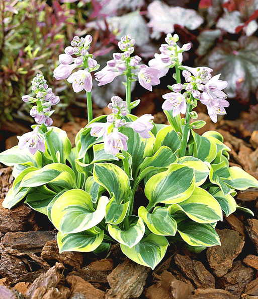 Mini-Hosta 'Frosted Mouse Ears'