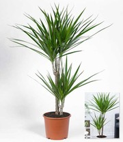 dracena 39 marginata 39 ca 60 cm hoch 1a qualit t baldur garten. Black Bedroom Furniture Sets. Home Design Ideas