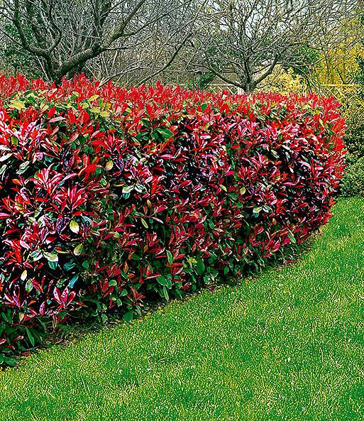 photinia hecke  red robin immergruene hecke bei