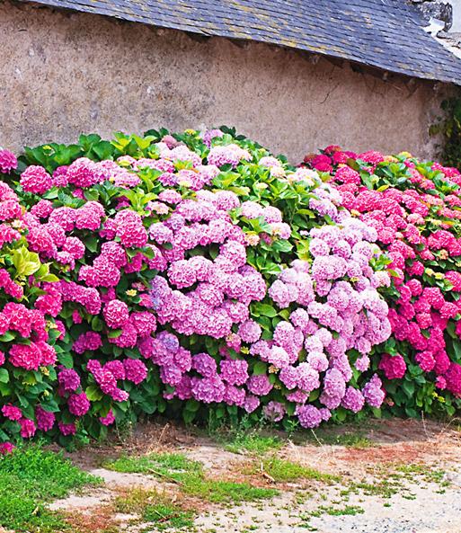 Freiland Hortensien Hecke Pink Rose