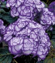 Schneeball hortensie 39 annabelle 39 hortensien bei baldur for Baldur garten katalog anfordern