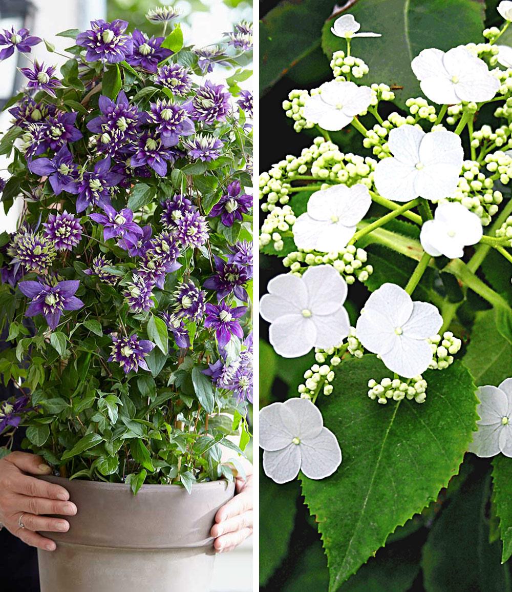 Winterharte Kletterpflanzen-Kollektion