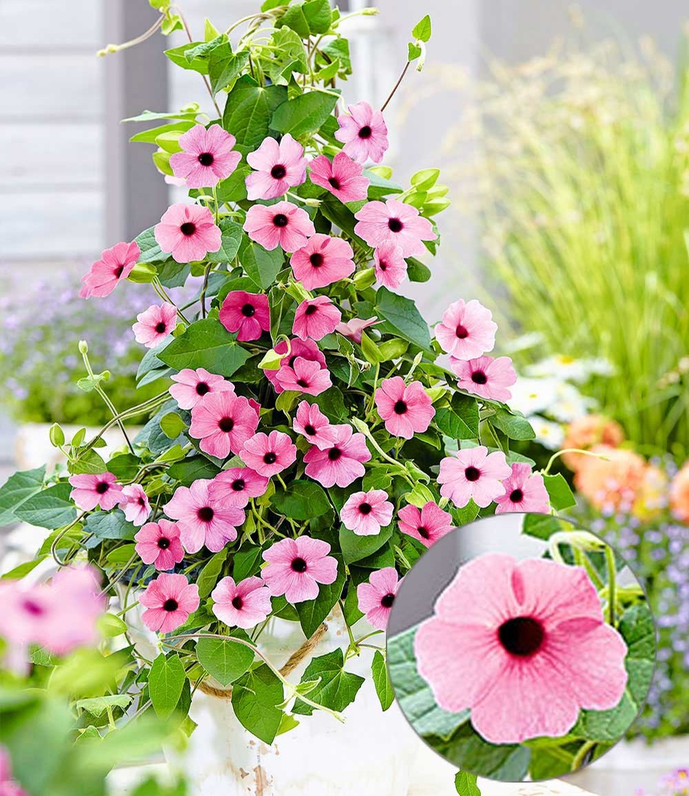 Rosa Thunbergia 'Pink Surprise'