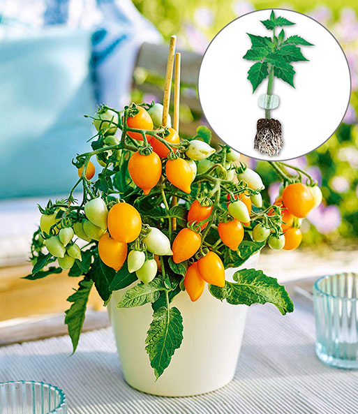 Niedrige Topf-Tomaten 'Funnyplums® Golden Orange' F1