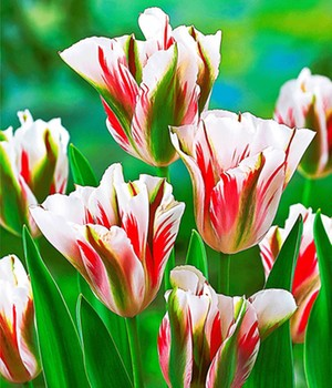 Tulpe 'Flaming Spring Green'