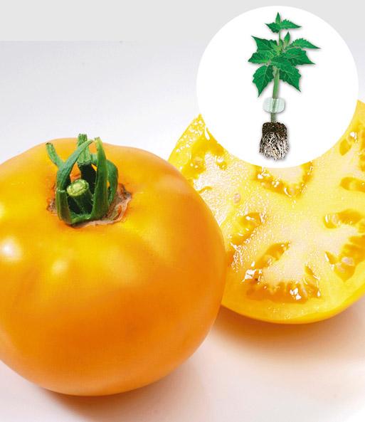 veredelte stab tomate 39 lemon boy 39 f tomaten bei baldur garten. Black Bedroom Furniture Sets. Home Design Ideas