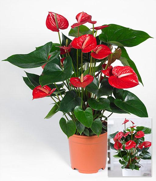 flamingoblume 39 rot 39 1a zimmerpflanzen online kaufen. Black Bedroom Furniture Sets. Home Design Ideas