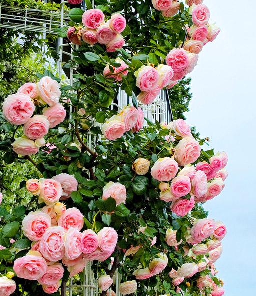 baldur garten rosen primeln rosen primula bicolor 3 pflanzen ...