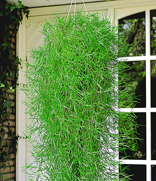 Hangender Bambus Green Twist 3 Pflanzen Baldur Garten