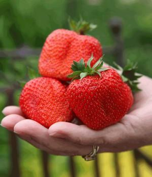 Außergewöhnlich Erdbeeren richtig pflanzen, pflücken und düngen @IA_04