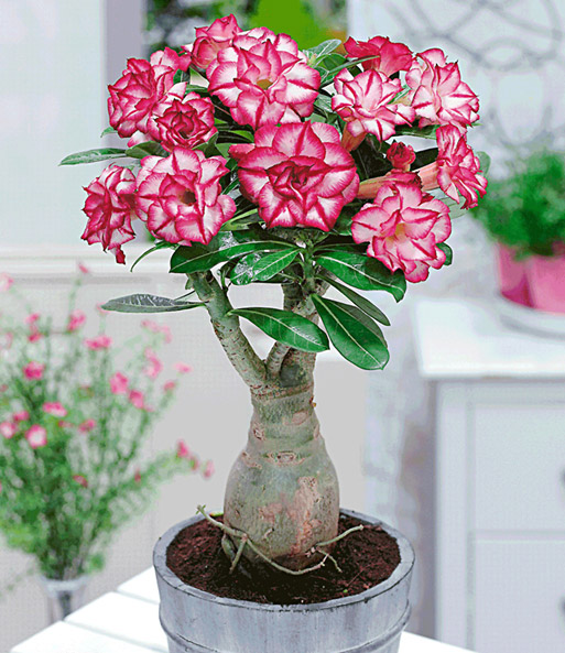 Zimmerpflanzen Südseite wüstenrose gefüllt picotée 1a zimmerpflanzen baldur garten