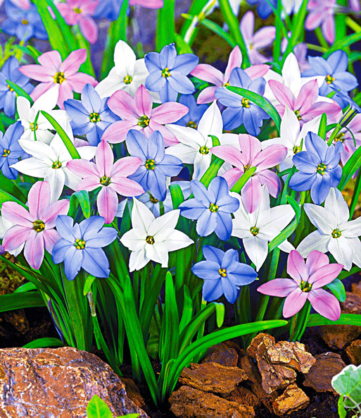 Ipheion 'Spring Mix'