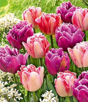 Tulpen-Mix 'Lemon & Purple Delight'