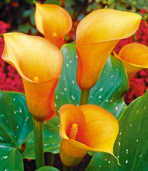Beliebt Bevorzugt Calla 'Mango'   Blumenzwiebeln für die Wohnung bei BALDUR-Garten @FH_84