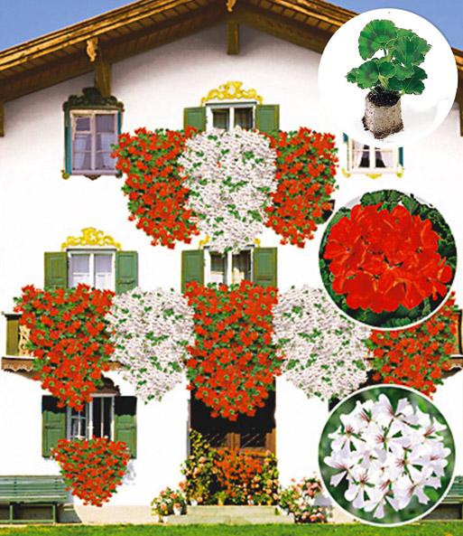 h nge geranien kollektion 39 rot we geranien jungpflanzen bei baldur garten. Black Bedroom Furniture Sets. Home Design Ideas