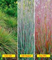 Ziergras Standing Ovation: 1A-Pflanzen   BALDUR-Garten
