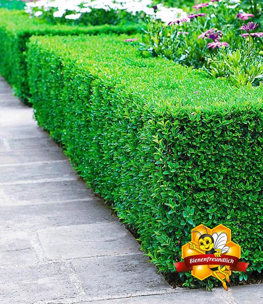 Buchsbaum buxus sempervirens top qualit t online kaufen baldur garten - Buchsbaum garten ...