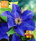 Blaue Clematis 'The President'