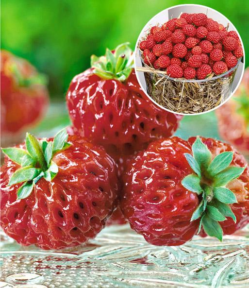 himbeer erdbeere 39 framberry 39 erdbeeren bei baldur garten. Black Bedroom Furniture Sets. Home Design Ideas