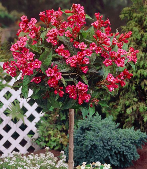 weigelie 39 bristol ruby auf stamm k belpflanzen bei baldur garten. Black Bedroom Furniture Sets. Home Design Ideas