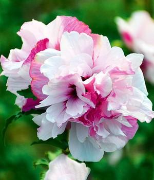 60fa2b6d715f1b Ziersträucher-Neuheiten online kaufen   bestellen bei BALDUR-Garten