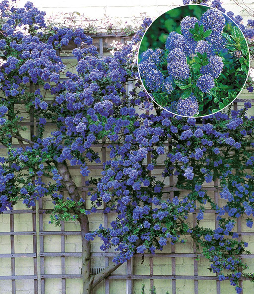 ceanothus 39 trewithen blue 39 immergr n wintergr n bei baldur garten. Black Bedroom Furniture Sets. Home Design Ideas