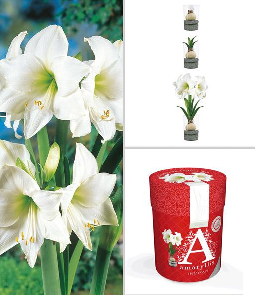 amaryllis im glas 39 wei e intokazi 39 bl hende zimmerpflanzen bei baldur garten. Black Bedroom Furniture Sets. Home Design Ideas