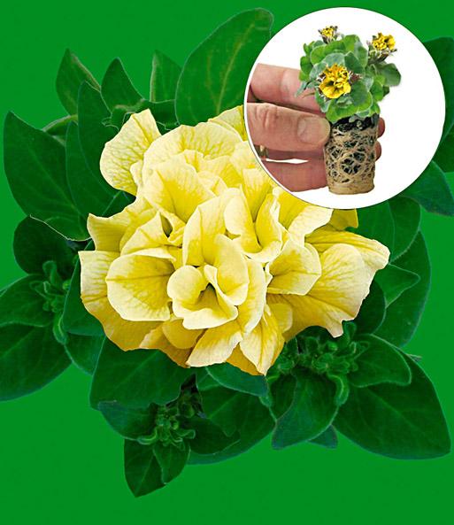 h nge petunien 39 sungold 39 petunien jungpflanzen bei. Black Bedroom Furniture Sets. Home Design Ideas