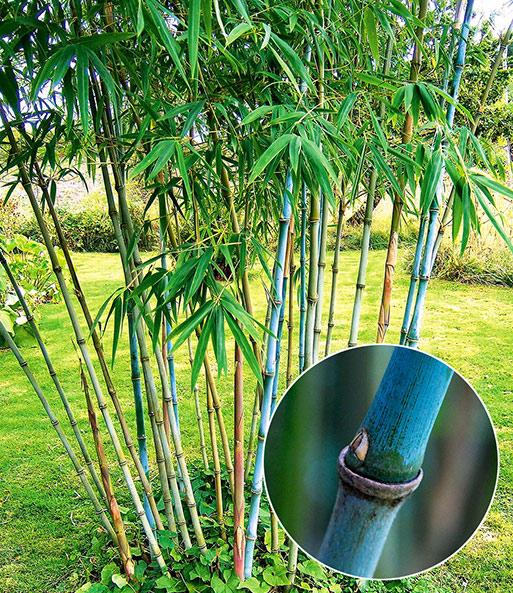 Winterharter Bambus U0027Blue Dragonu0027