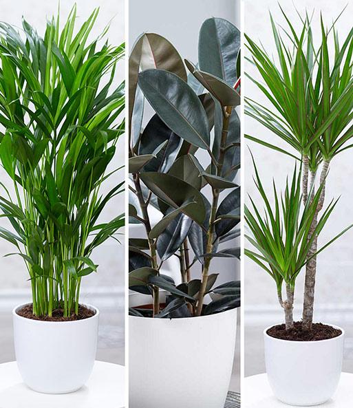 zimmerpflanzen mix 39 xxl 39 1a zimmerpflanzen online kaufen baldur garten. Black Bedroom Furniture Sets. Home Design Ideas