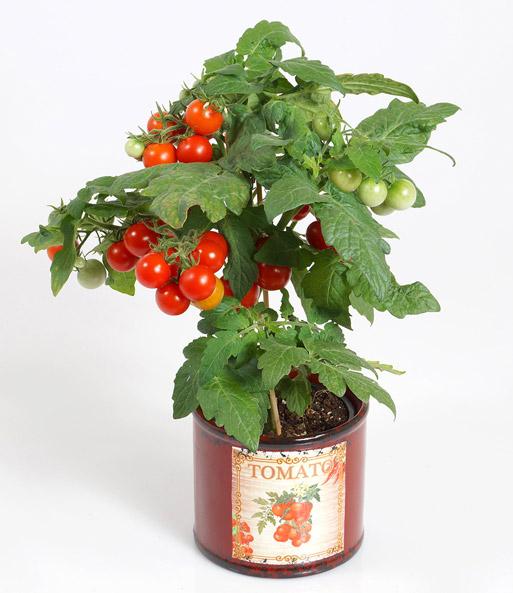 tomatenpflanze mit fr chten 39 snack tomaten bei baldur garten. Black Bedroom Furniture Sets. Home Design Ideas