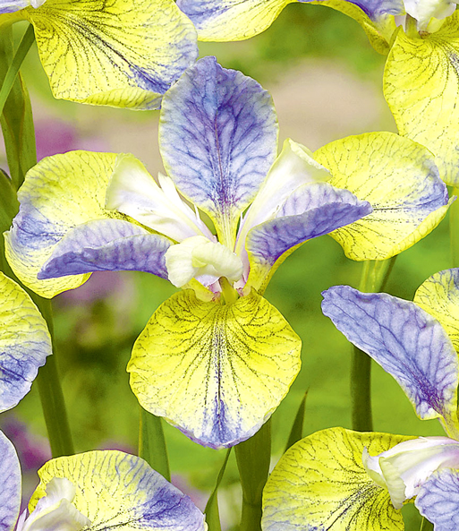 Iris 'Tipped in Blue'