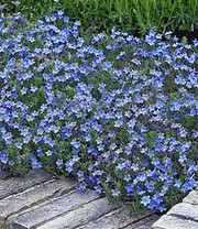 Lithodora 'Heavenly Blue'