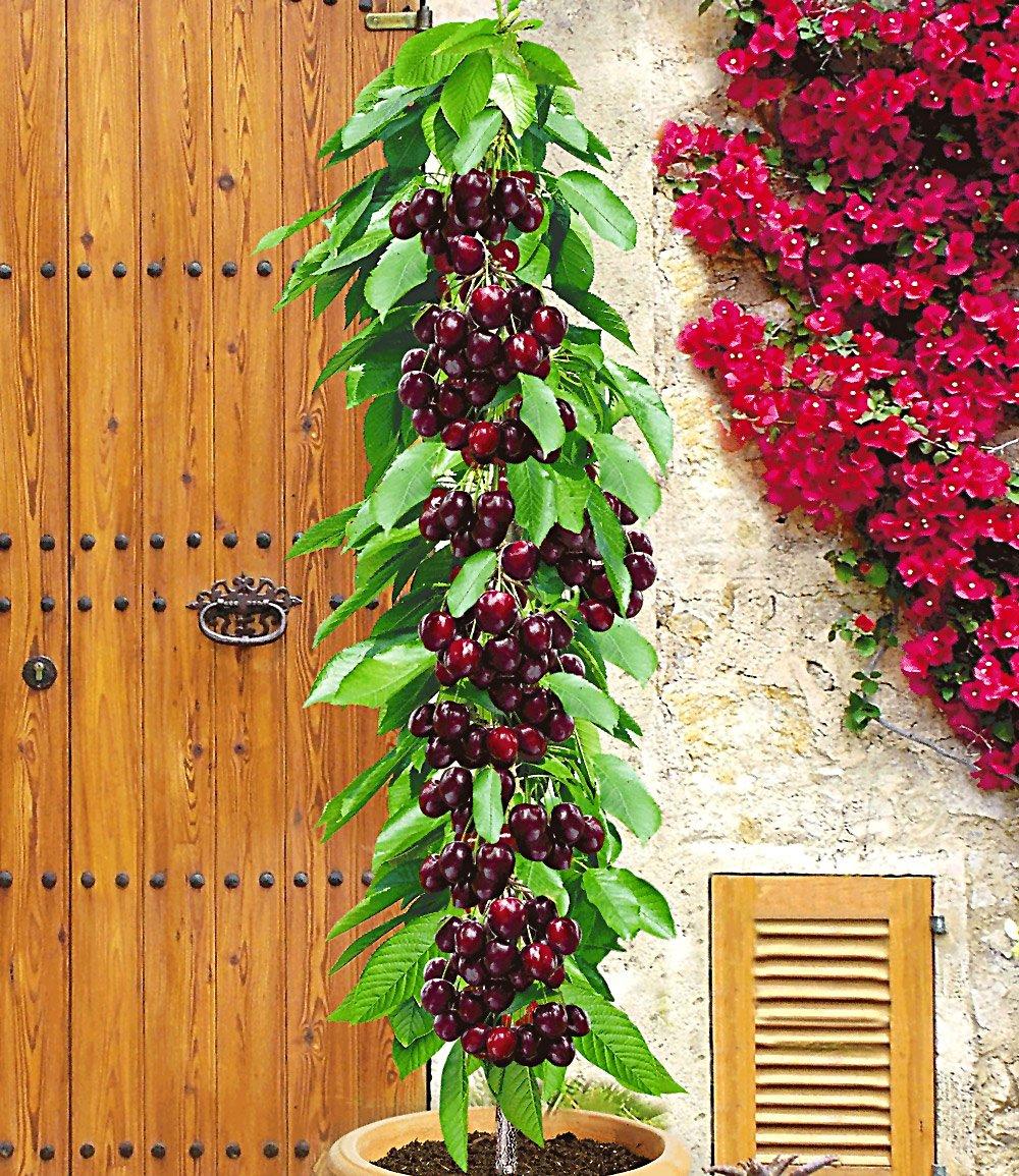 Säulenkirsche 'Garden Bing®'